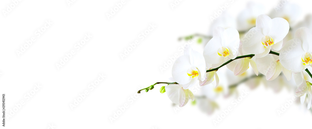 Fototapeta White orchid isolated on white