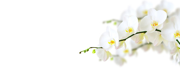 Fototapeta na wymiar White orchid isolated on white