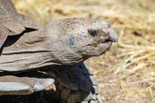 Burmese Brown Tortoise (Manouria Emys Emys).