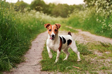 Small Jack Russell Terrier Standing On Country Road, Tongue Out, One Leg Up, Looking Attentive, Grass On Both Sides Of Path, Blurred Sun Lit Trees In Background
