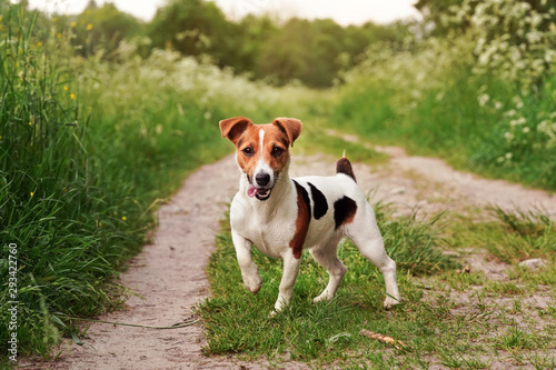 Obraz Small Jack Russell terrier standing on country road, tongue out, one leg up, looking attentive, grass on both sides of path, blurred sun lit trees in background - fototapety do salonu