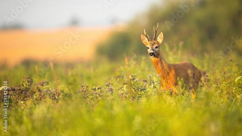 Foto op Plexiglas Ree Roe deer, capreolus capreolus, buck with asymmetrical antlers looking aside in summer with copy space. Wild mammal wet from moisture in tranquil wilderness.
