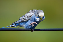 Budgie Bird ( Melopsittacus Undulatus ) Sitting On A Wire And Cleaning His Claws