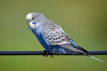 Budgie Bird ( Melopsittacus Undulatus ) Sitting On A Wire