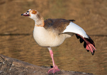 Egyptian Goose Busy With A Mat...
