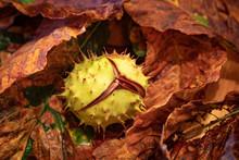 Autumn Conker