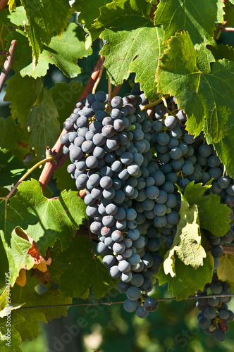 Front view, close distance of Dolcetto grapes and vines in the hills of Mango, wine region of Piedmont, Italy