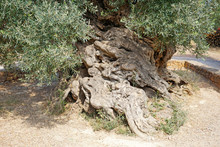 The Oldest Three-thousand-year-old Olive Tree In The Village Of Ano Vouves On The Island Of Crete.