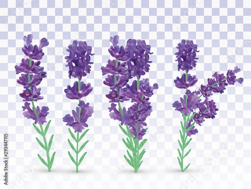 Fototapeta Collection violet lavender with green leaf isolated on transparent background. Bunch flower. Lavender close up. Fragrant lavender. Vector illustration obraz