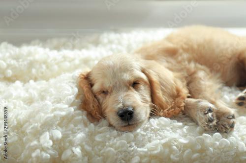 Obraz Cute English Cocker Spaniel puppy sleeping on plaid indoors - fototapety do salonu