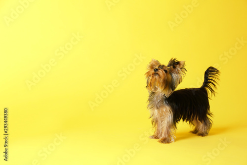 Obraz Adorable Yorkshire terrier on yellow background, space for text. Cute dog - fototapety do salonu