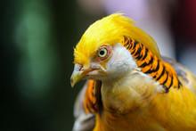 Golden Pheasant / Bird