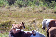 New Foal In Chincoteague Ponies Herd