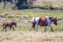 New Foal And Mare In Chincotea...