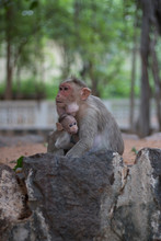 Baby Monkey Holding His Mom Sitting On A Wall In A Temple In India - Tiruvannamalai