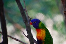 Green Naped Lorikeet. Eye And Beak Visible As Bird Stretches On Branch To Climb.
