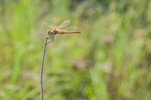 Dragonfly On A Stick And A Gre...