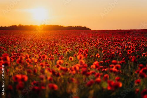 Scenic view of fresh poppy flowers on field against orange sky during sunset - 293465531