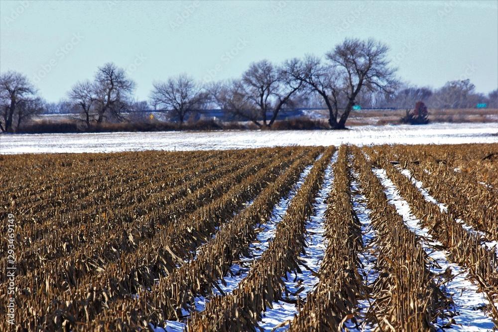 Fototapeta Kansas Milo stubble in a farm field with Snow in Kansas