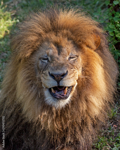 Photo male African lion making a goofy face