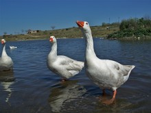 Two Geese In The Water
