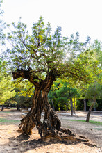 Centennial Tree Of The Carob T...