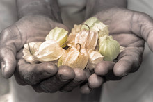 Cape Gooseberry (Physalis Peruviana) Fruit In The Hands Of A Human Man, Uganda, Africa