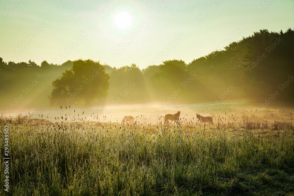 Fototapeta Pferde auf einer Koppel bei Gegenlicht