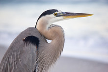 Great Blue Heron Close-up On Beach