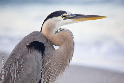 Fotografía great blue heron close-up on beach