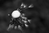 Fototapeta Dmuchawce - Art photo of dandelion seeds close up on natural blurred background.Drops of morning dew on dandelion seeds.Black and white photo.