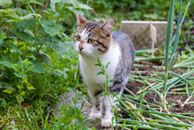 A Stray Tabby Cat Stands On A Wooden Board Near The Garden With Green Onions.