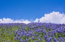Lupine, Lupinus, Lupin Flowers Growing In A Field, California Wildflowers, Blue, Purple