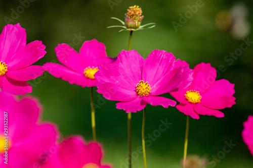 Pink cosmos flower, floral summer landscape.