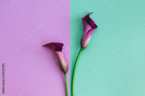 Fotografía Beautiful violet calla lilies on turquoise and violet background