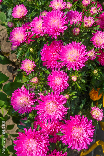 Poster Rose Bright chrysanthemum flowers grow in the landscaped garden.