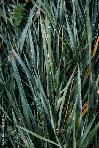 grass background with dew. morning time