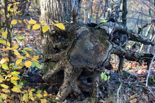 Uprooted Stump In The Forest O...