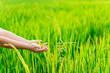 Leinwanddruck Bild - close up of farmer's hand holding green rice in the fields. Asian culture or rice cultivation culture