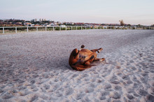 Horse Rolling On Sand Of Paddock
