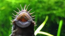 Corydoras Paleatus Is A Specie...