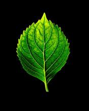 Hydrangeas Leaf