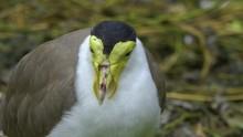 Close Up Of A Masked Lapwing B...