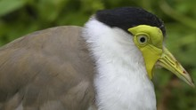 Close Up Of A Masked Lapwing B...