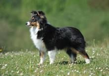 Shetland Sheepdog Purebred Dog...