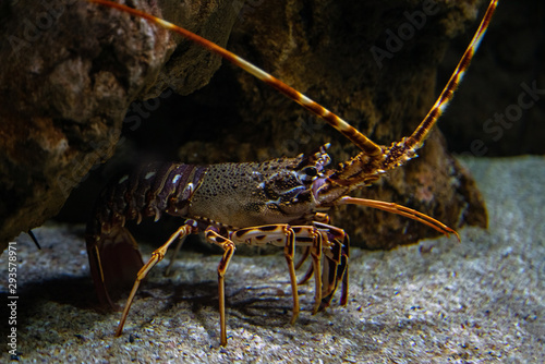 Photo Spiny lobster - Palinurus elephas