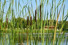 Summer Reeds On The Pond