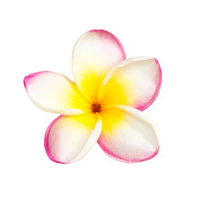 One Pink Tropical Frangipani Flower Isolated At White Background