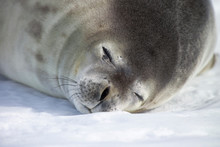 Sleeping Weddell Seal On Frozen Sea At Coulman Island, Ross Sea, Antarctica