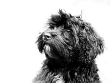Closeup Shot Of A Cute Black Schnoodle Type Of Dog With A White Background
